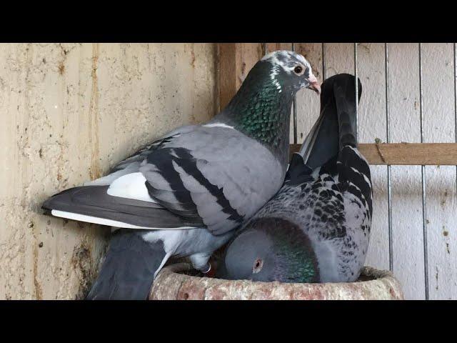 Suelta de camaguey en Alquizar,llegada de las palomas de El Pequeño