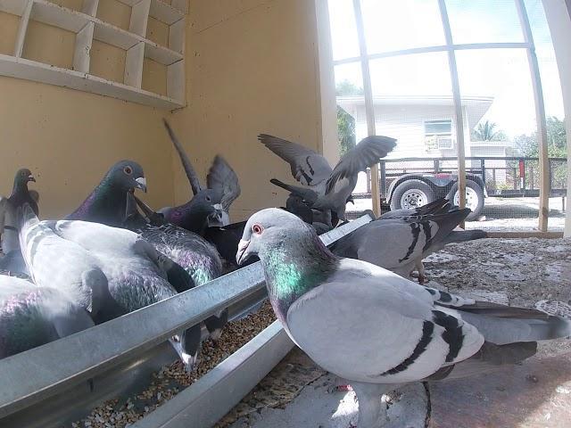 """GOPRO HERO 7 SILVER 1440P """"Feeding My Racing Pigeons"""""""