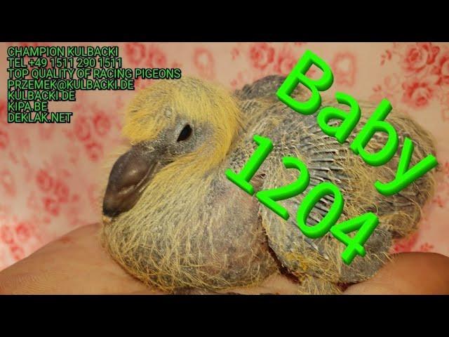 1204 BABY na sprzedaz for sale !! Inbred na stampara brat x siostra ATOM