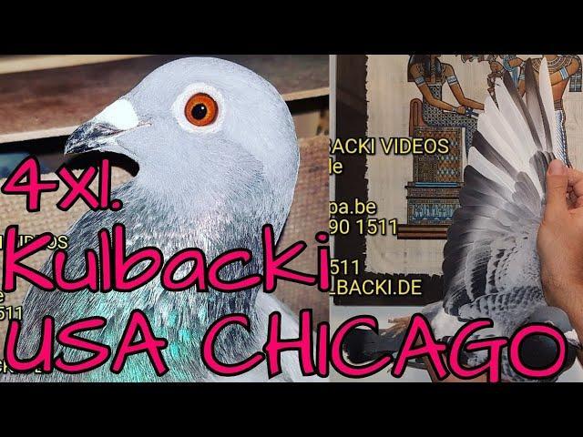 RASA KULBACKI CHICAGO USA,informacja:FORUM przekręty grubego ksero rodowodòw gołębie bez oczów