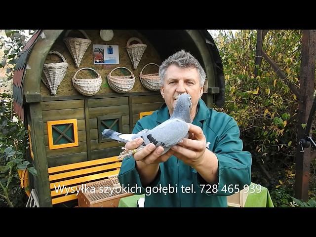 Kontrola jakości gołębi przed wysyłką tel. 728 465 939