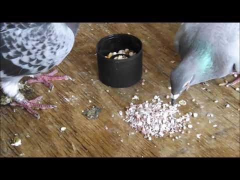 Starting To Raise Pigeons - Basic Starter Care Advice