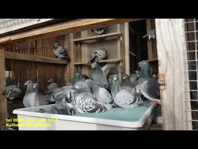 Super zdrowe gołębie! Top healthy pigeons without antibiotic and without medicine ????,only 100% nat