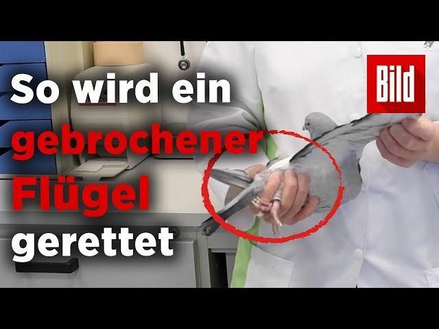 Taubenklinik Essen – Hier werden Flügel repariert und Würmer entdeckt