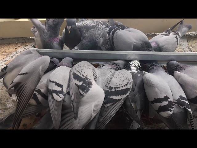 Feeding The Racing Pigeons 2019