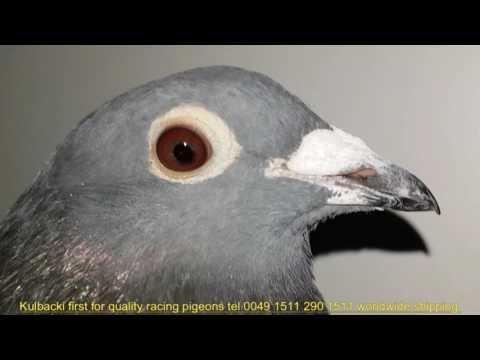 Golebie na sprzedaż Pigeons for sale Tauben zum verkauf tel 0049 1511 290 1511
