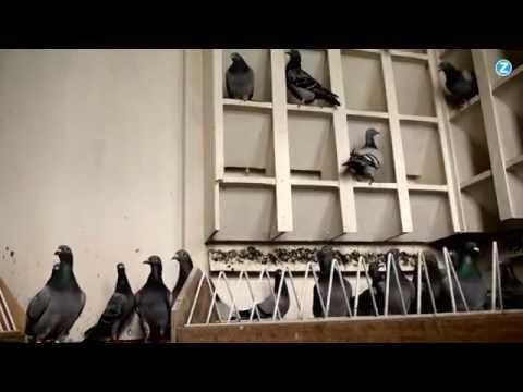 Belgische duivenmelkers supersterren in China