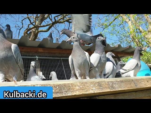 23.04.2020 Kulbacki young pigeons part 4 MŁODE GOŁĘBIE część 4