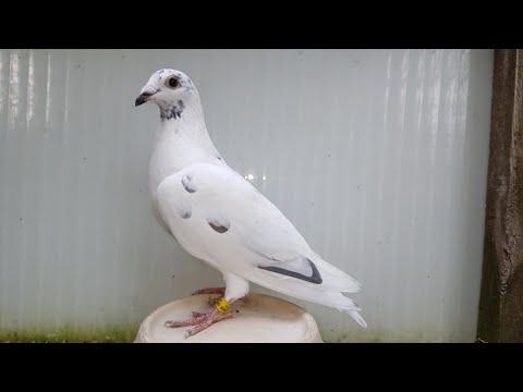Komplet konkursów brat, rodzina 20x1. Racing pigeons sport Kulbacki top quality Germany