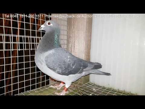 Już sprzedany tel 0049 1511 290 1511 Hodowla Kulbacki racing pigeons of next century Kulbacki.de
