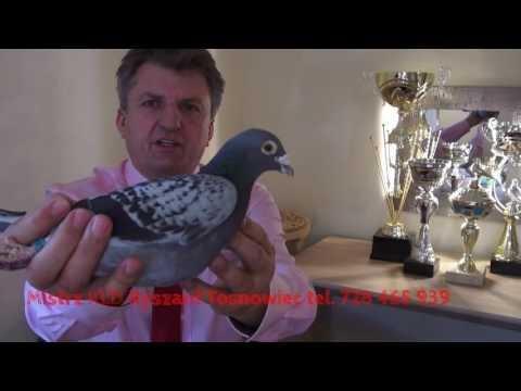 Porady dla młodych hodowców gołębi pocztowych...