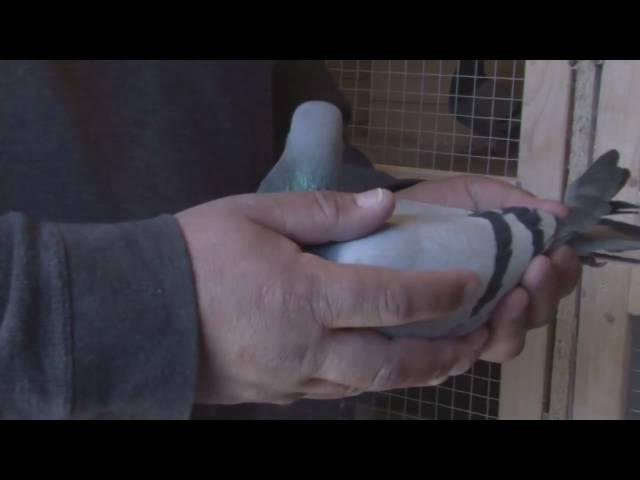 «Die Tauben müssen sportlich was bringen»