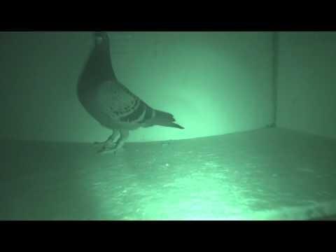 Roczne wdowce wypoczywają ...gołębie - asy przestworzy !