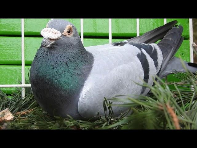 Szybkie gołębie Żniwiarze część 1 17 11 2020