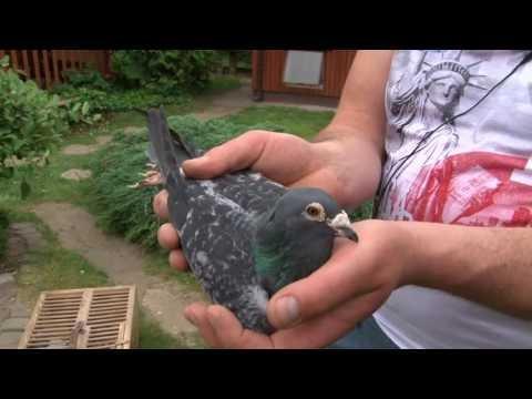 Toma Arkadiusz- prezentacja gołębi.