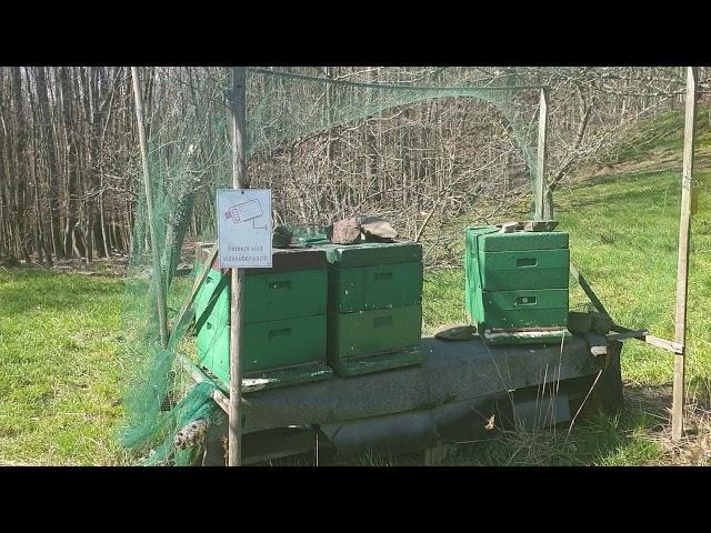 Leśne #pszczoły, Wald #Honigbienen, forest #honey #bees