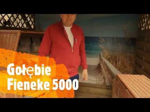 Gołębie Fieneke 5000 tel. 728 465 939