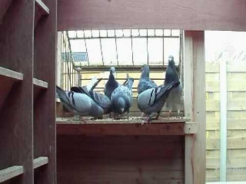binnen roepen duiven.mpg