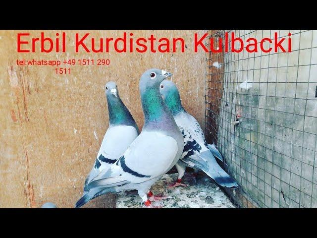 New video and pictures from Erbil middle east racing pigeons sport of Kulbacki Top Quality Champions