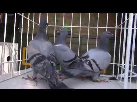 Naszybsze gołębie z linii Żniwiarzy i Wyżymaczy tel. 728 465 939