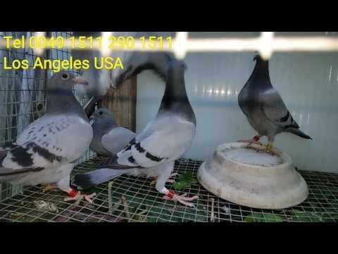 Wysylki golebi do LOS ANGELES CALIFORNIA KALIFORNIA SHIPPING PIGEONS KULBACKI CHAMPIONS USA