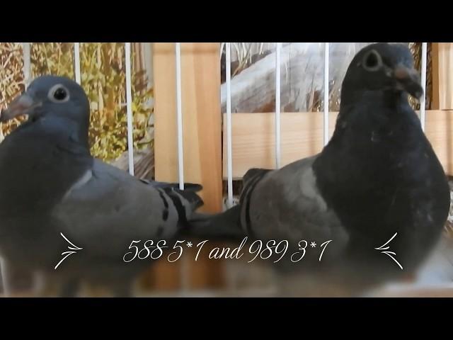 Młode gołębie po asach $1, 000 sztuka tel. 728 465 939