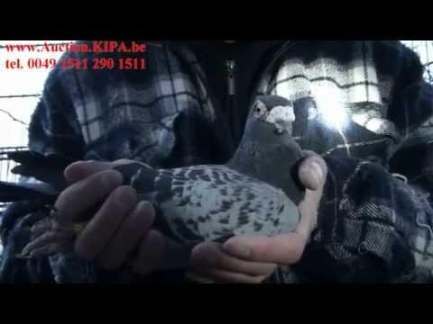 AUCTION.KIPA.BE WELCOME TO MY PIGEONS AUCTION BEST PIGEONS OF EUROPE FROM CHAMPION MÜLLER & KULBACKI