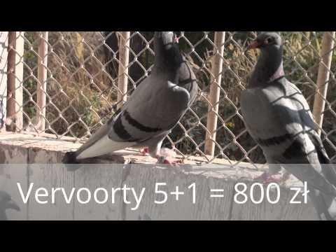 Jesienne Vervoorty 5 +1 = 800 zł tel. 728 465 939