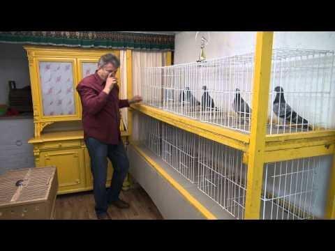 Porady hodowcy gołębi pocztowych T. 728 465 939