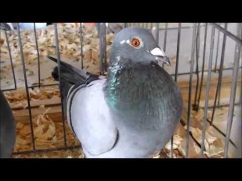 HRPC Pigeon Racing Auction Sale 2016 Racing Pigeons