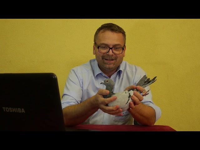 Gołębie Roeper - prezentacja gołębi na aukcje Europapigeons Juwels