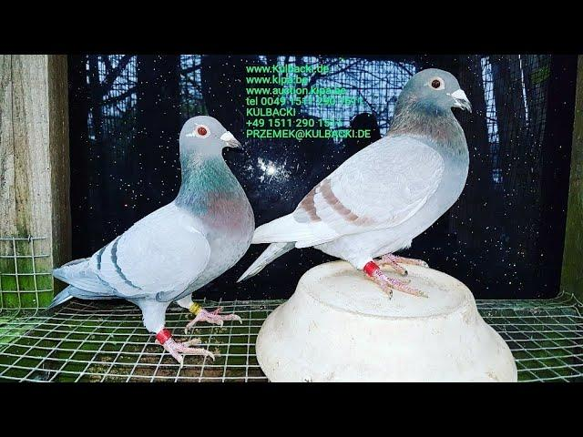 sprzedaz/sale/verkauf czerwone gołębie rote Tauben red pigeons RAMSES FAMILY SUPER PTAKI TOP BIRDS