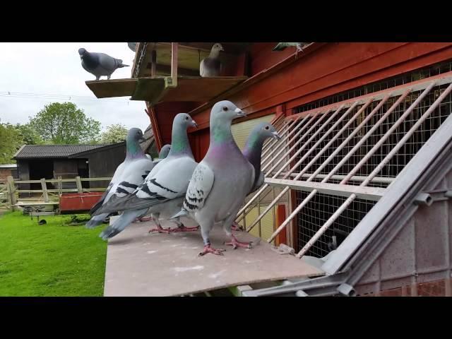 Racing Pigeons, young birds 2015