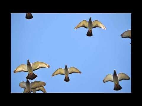 Trening młodych gołębi z dorosłymi...