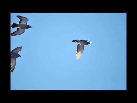Oblot zimowy samic gołębi wdów - 5 stopni