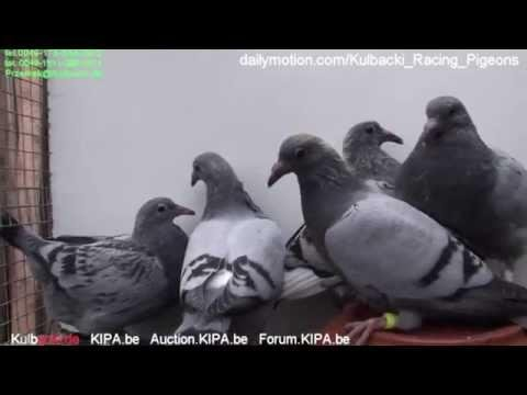CHAMPION KULBACKI BREEDING PRESENTS young pigeons from best original Meulemans Auction.Kipa.be