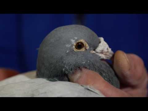 HANS HIRN - Gołębnik rozpłodowy , prezentacja gołębi.
