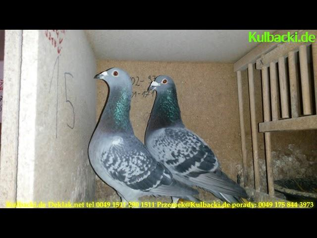 1st. Club training Racing Pigeons Germany | Racing Pigeons Documentary Channel | KULBACKI PRZEMEK