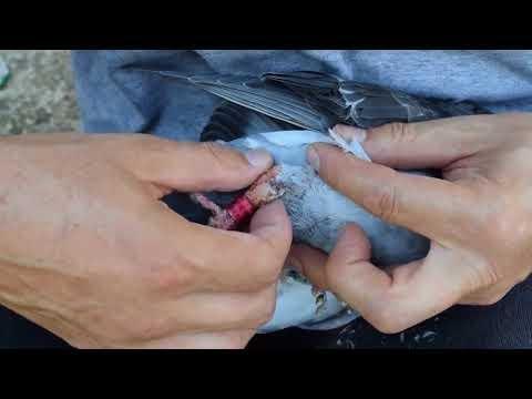 How my pigeon with broken leg healed
