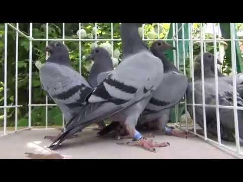Gołębie Vervoorty na sprzedaż 990 zł/6+1szt tel . 728 465 939