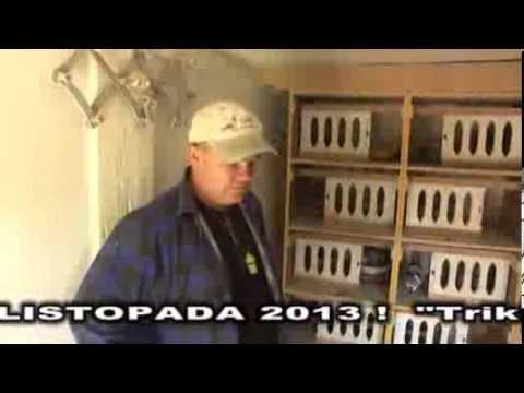 Piotr Bakiera  - W gołębniku rozpłodowym