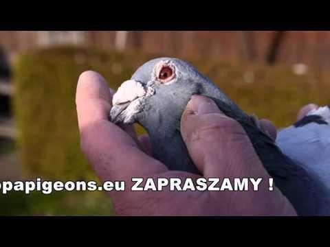 Tino Bergemann - prezentacja gołebi