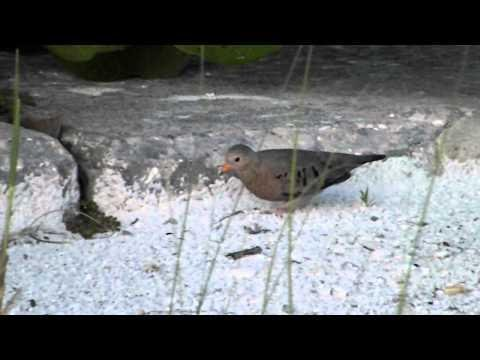 The common ground dove - Columbidae - Pigeon and Doves