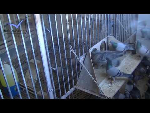 Jump in training for racing pigeons by Rafael Ruz