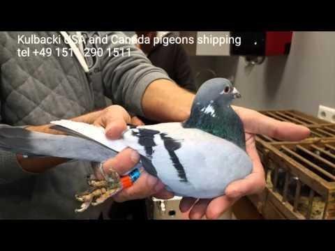 Racing Kulbacki pigeons shipping to USA and Canada wysyłka gołębi do Ameryki i Kanady