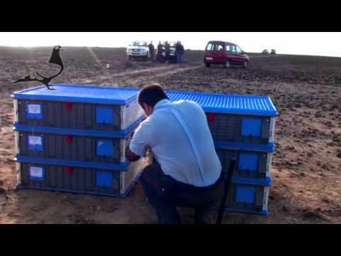 Final Releasing Arona-TENERIFE Pigeon Race 2012 24th Mar 2012