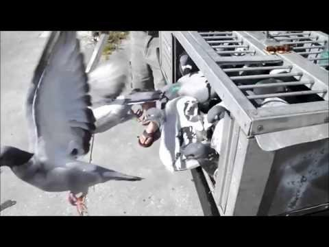 Pigeon Racing  Training toss - Birds return to loft - Naples FL