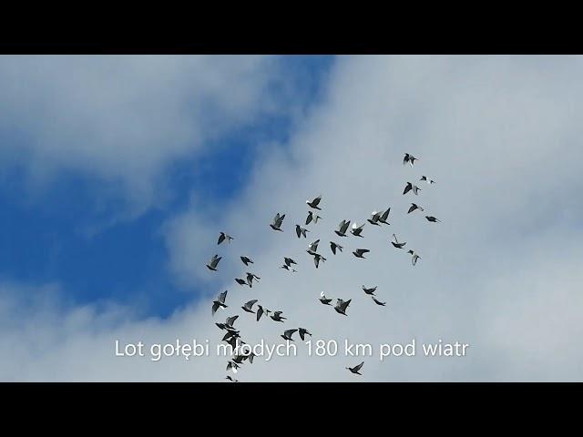 2 lot konk. gołębi młodych ze 180 km pod wiatr 30 06 2020