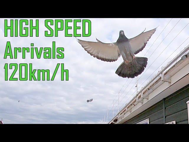 Vlog # 63 HIGH SPEED Racing Pigeon Arrivals
