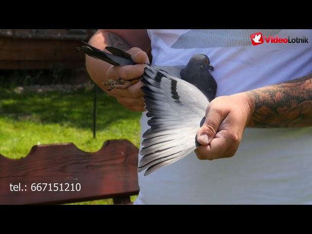 Gołębie Hooymans linia Harry i Paszek 808 - prezentacja na aukcje EuropaPigeons Juwels cz. 4